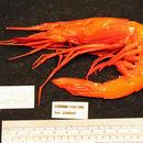 Image of scarlet gamba prawn