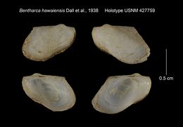 Image of <i>Bentharca hawaiensis</i> Dall, Bartsch & Rehder 1938