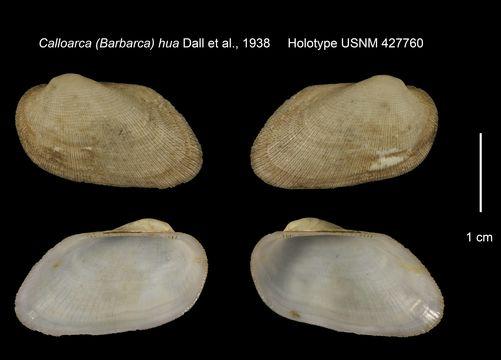 Image of <i>Calloarca</i> (<i>Barbarca</i>) <i>hua</i> Dall et al. 1938