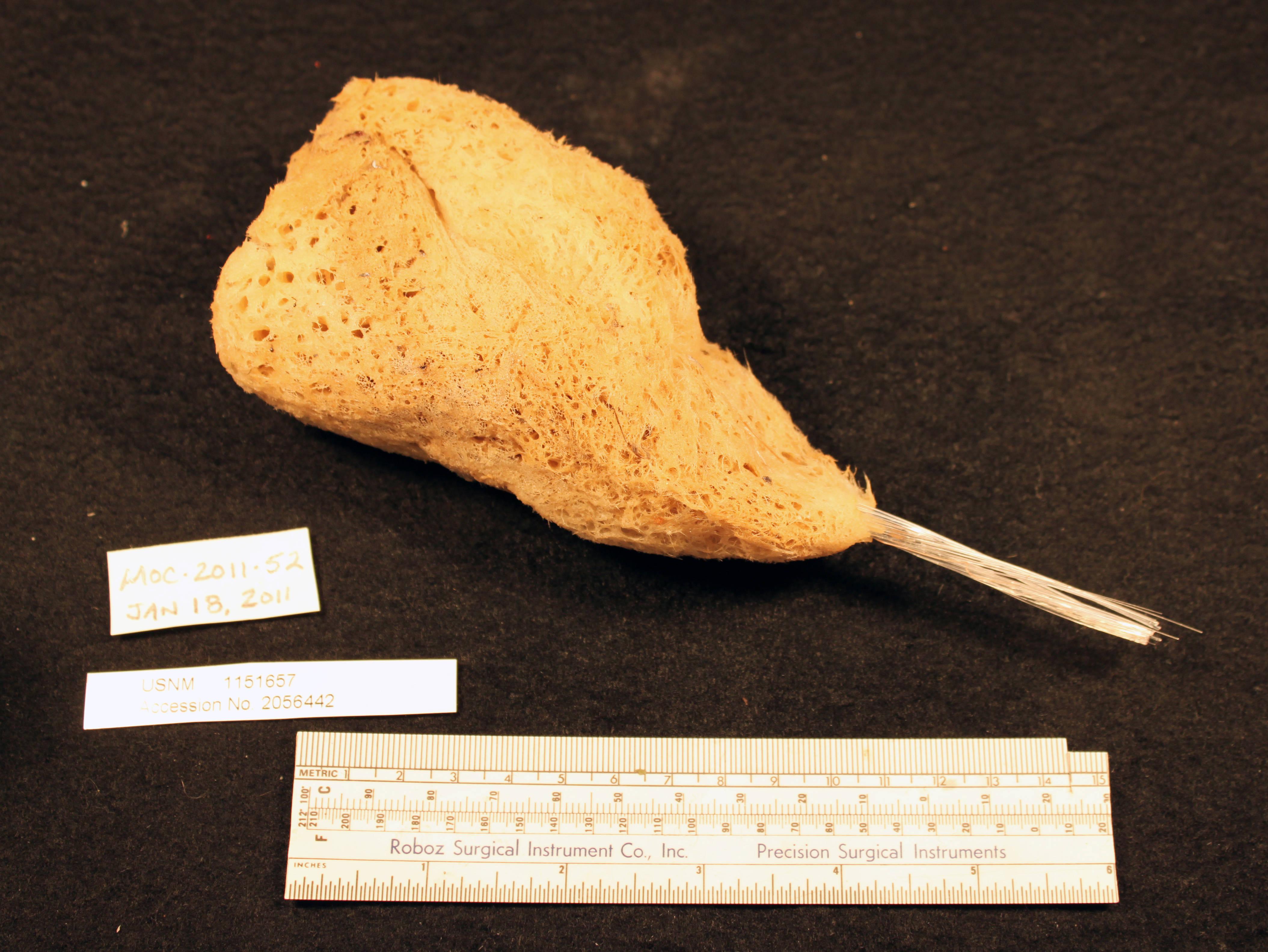 Image of Hyalonema subgen. Hyalonema Gray 1832
