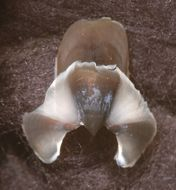 Image of <i>Grimpoteuthis boylei</i> Collins 2003