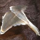 Image of <i>Promachoteuthis sloani</i> Young, Vecchione & Piatkowski 2006