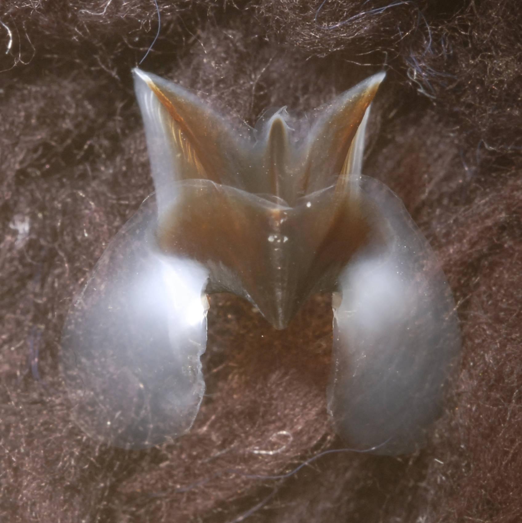 Image of Dana octopus squid
