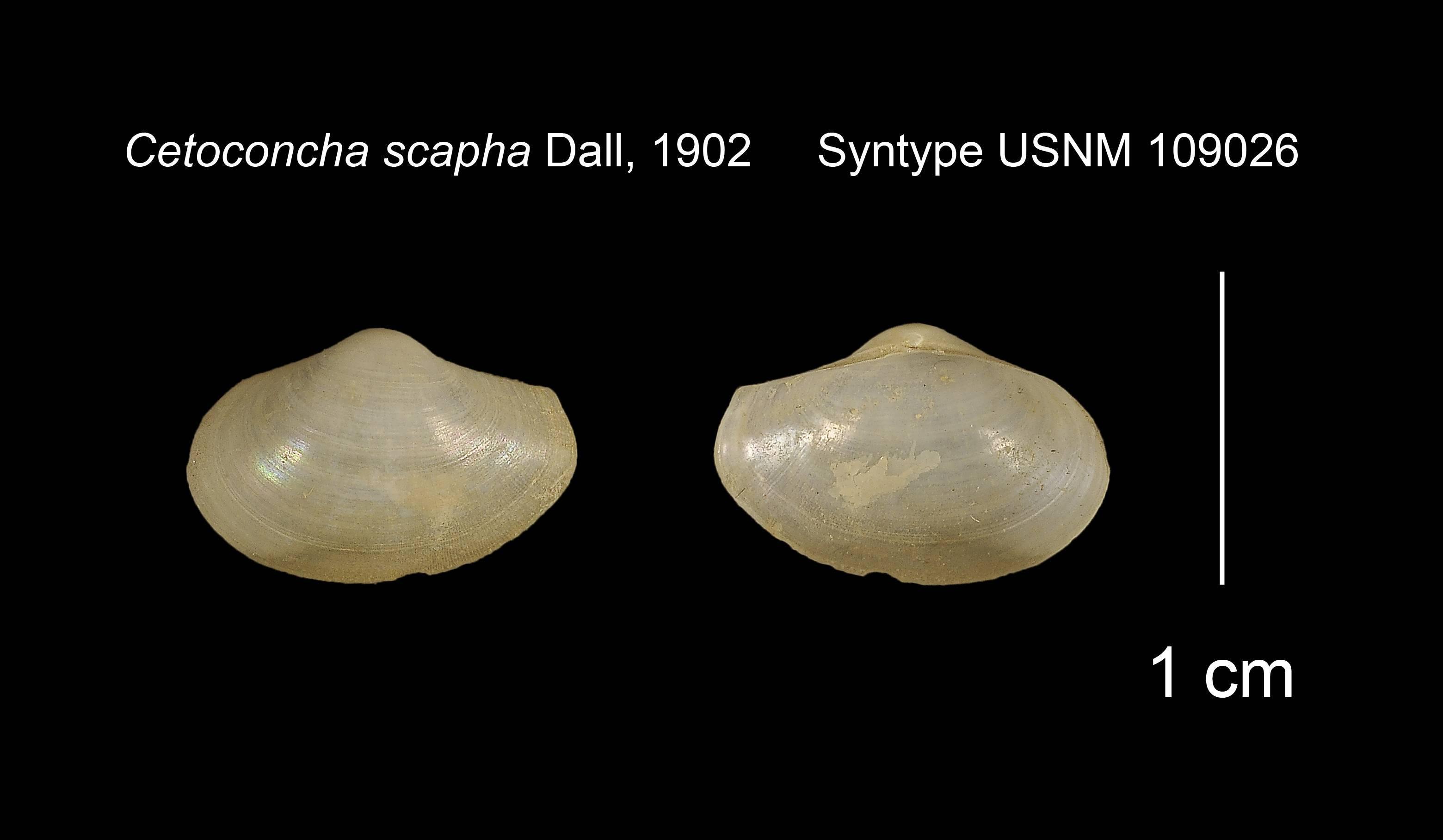 Image of <i>Cetomya scapha</i> (Dall 1902)
