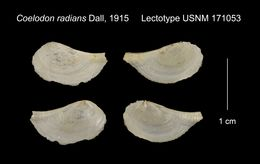 Image of <i>Coelodon radians</i> Dall 1915