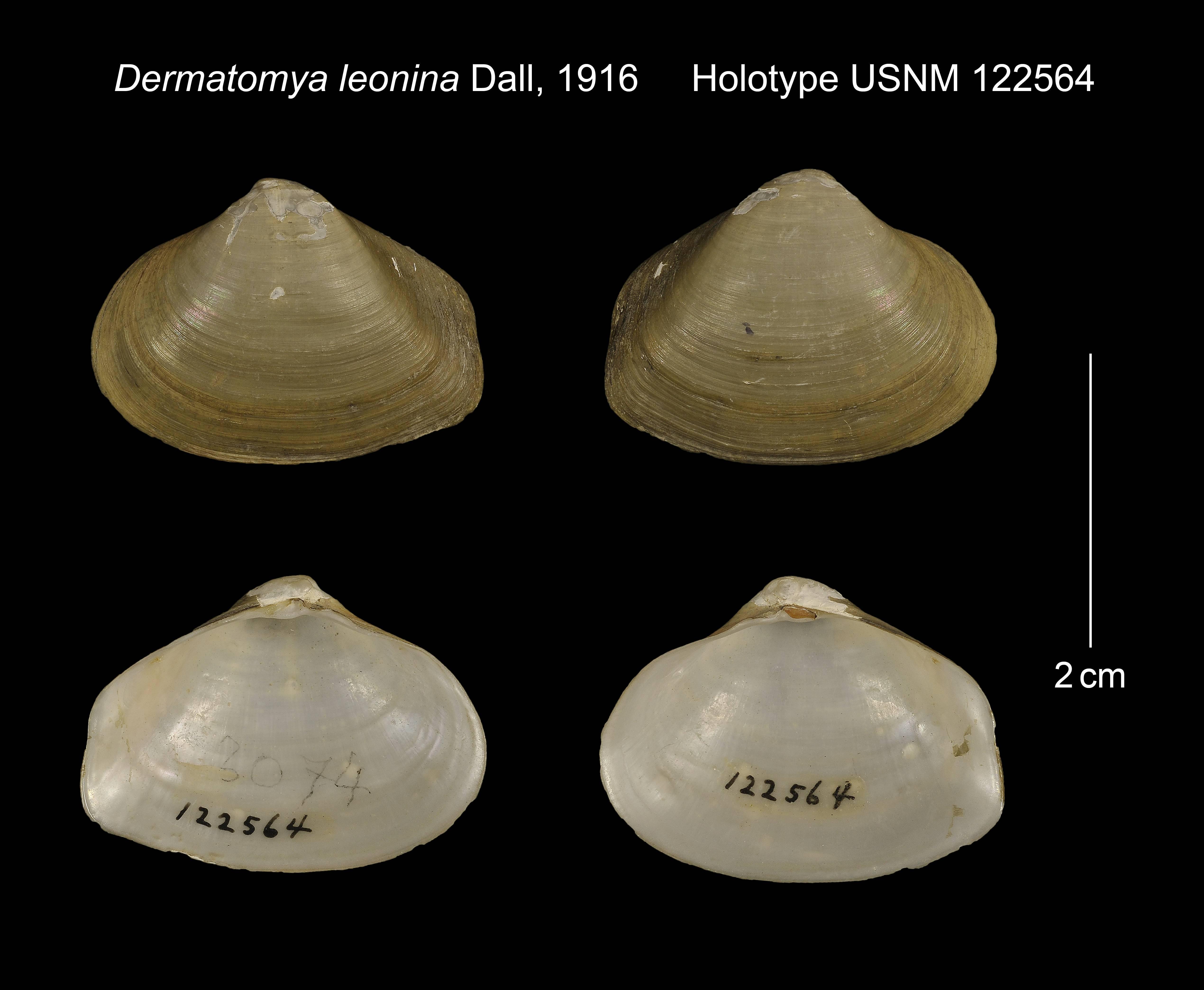 Image of <i>Dermatomya tenuiconcha</i> (Dall 1913)