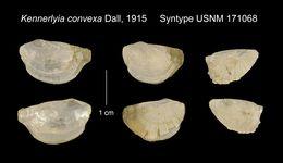 Image of <i>Kennerlyia convexa</i> Dall 1915