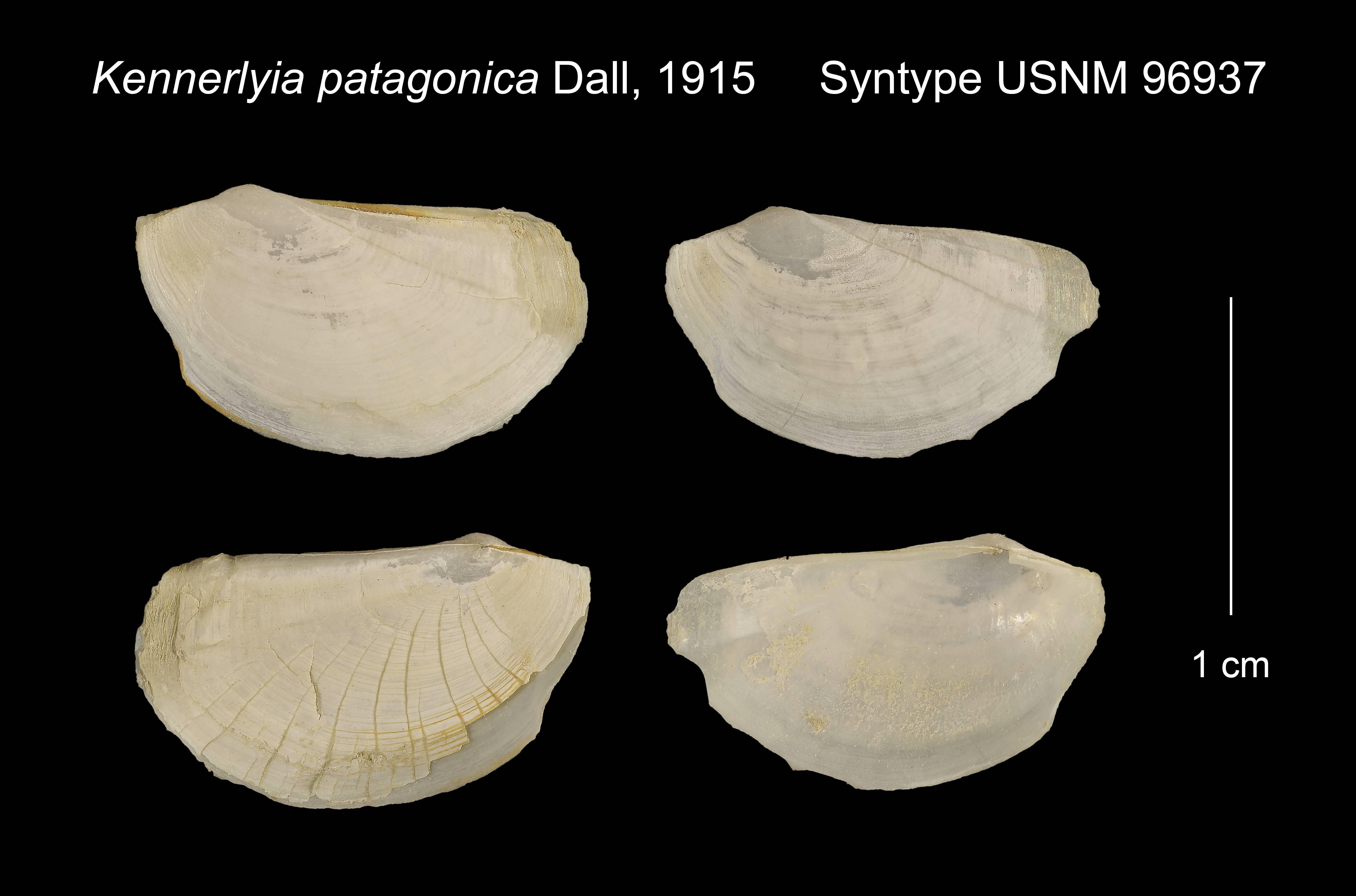 Image of <i>Kennerlyia patagonica</i> Dall 1915
