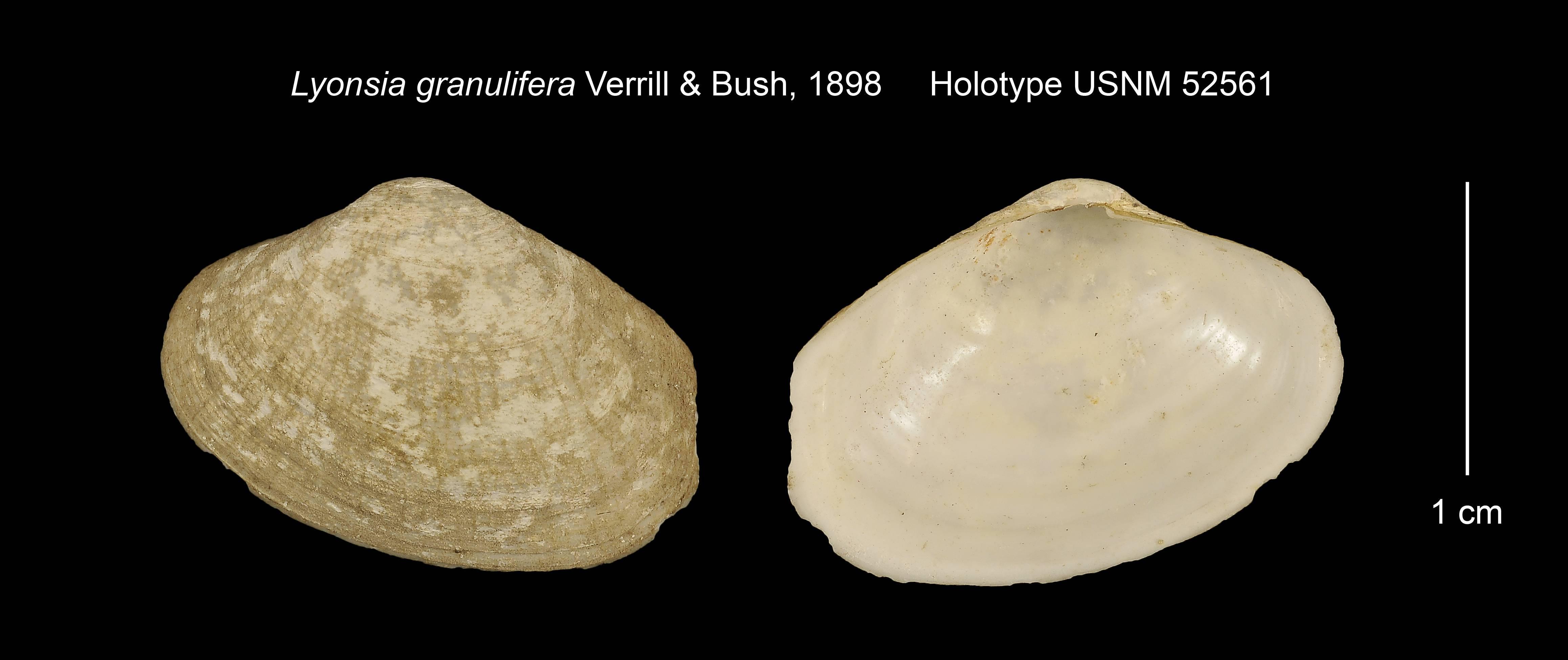 Image of granulate lyonsia