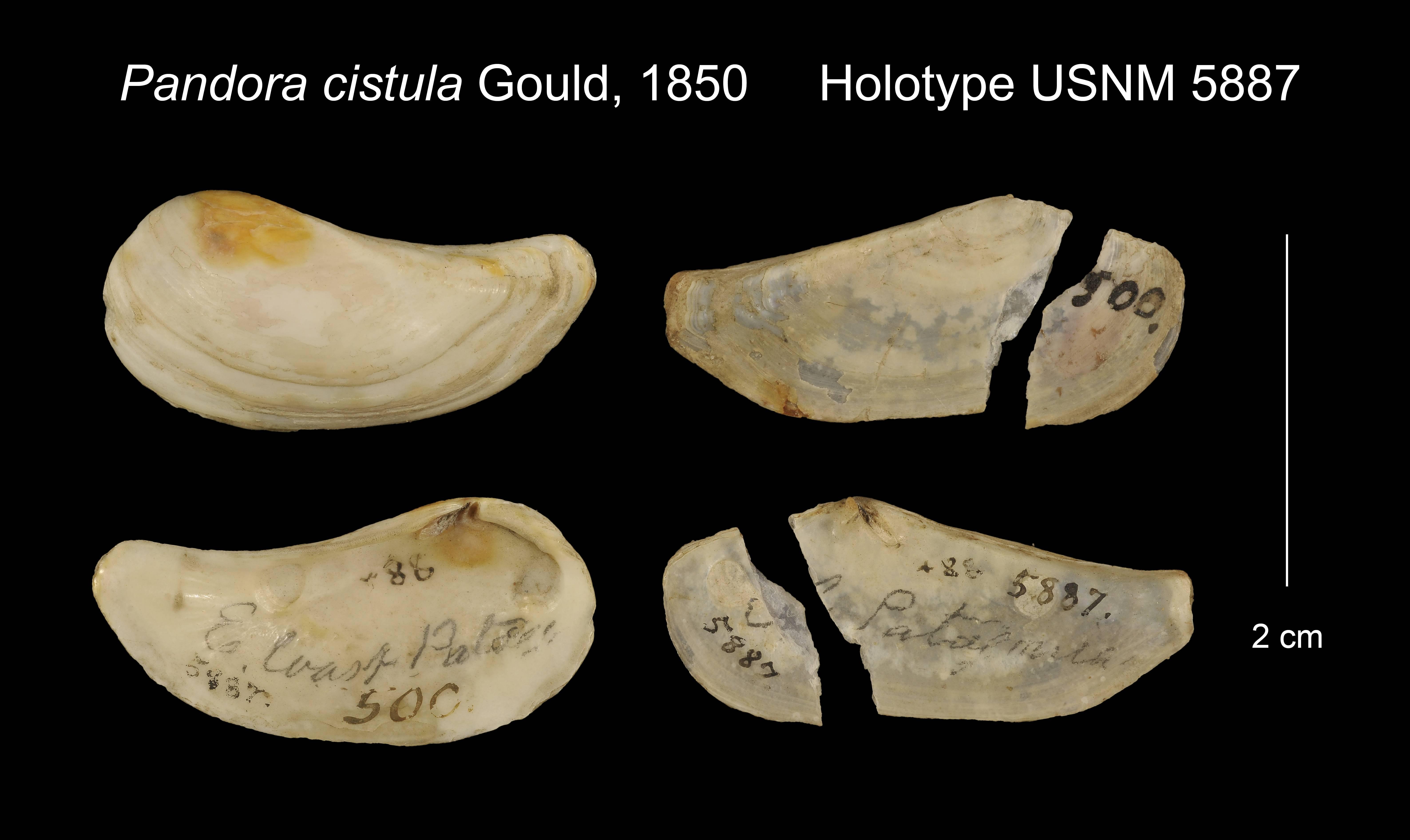 Image of <i>Pandora cistula</i> Gould 1850