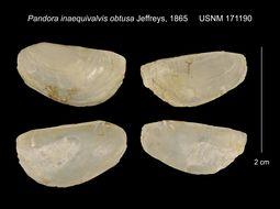 Image of <i>Pandora inaequivalvis</i> ssp. <i>obtusa</i> Jeffreys