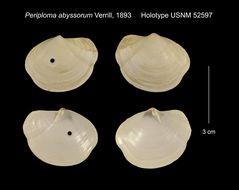 Image of <i>Periploma aleuticum</i> (A. Krause 1885)