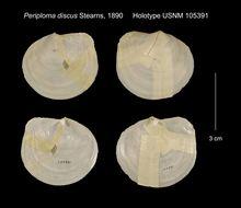 Image of <i>Periploma discus</i> Stearns 1890