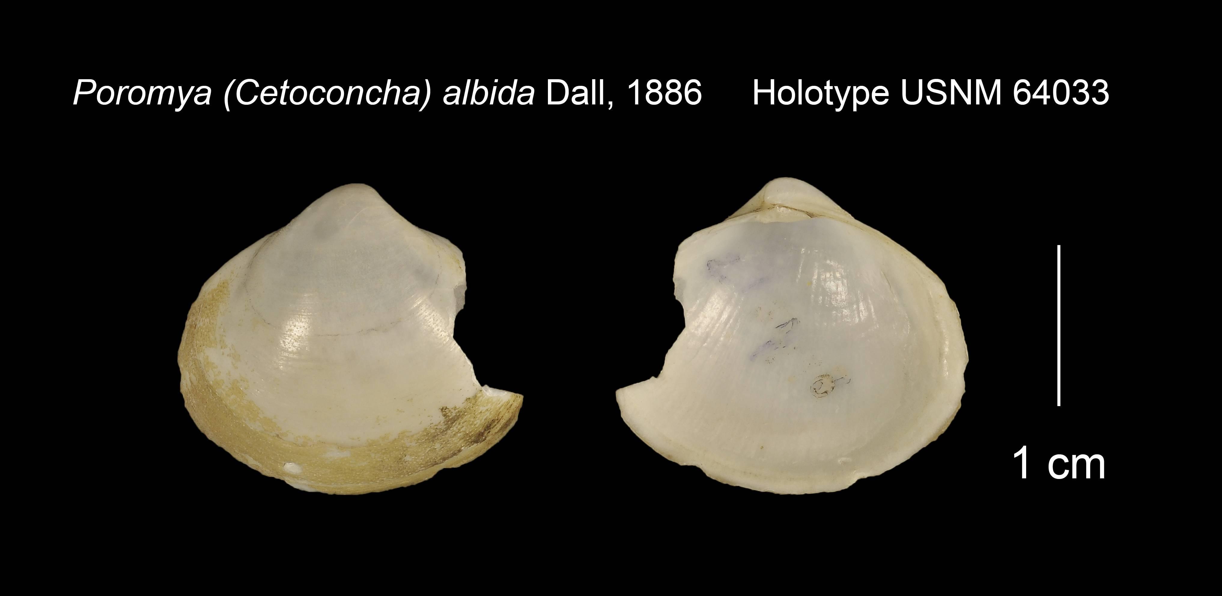 Image of <i>Cetomya albida</i> (Dall 1886)