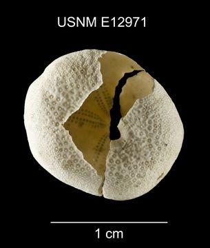 Image of <i>Eurhodia relicta</i> Mooi 1990