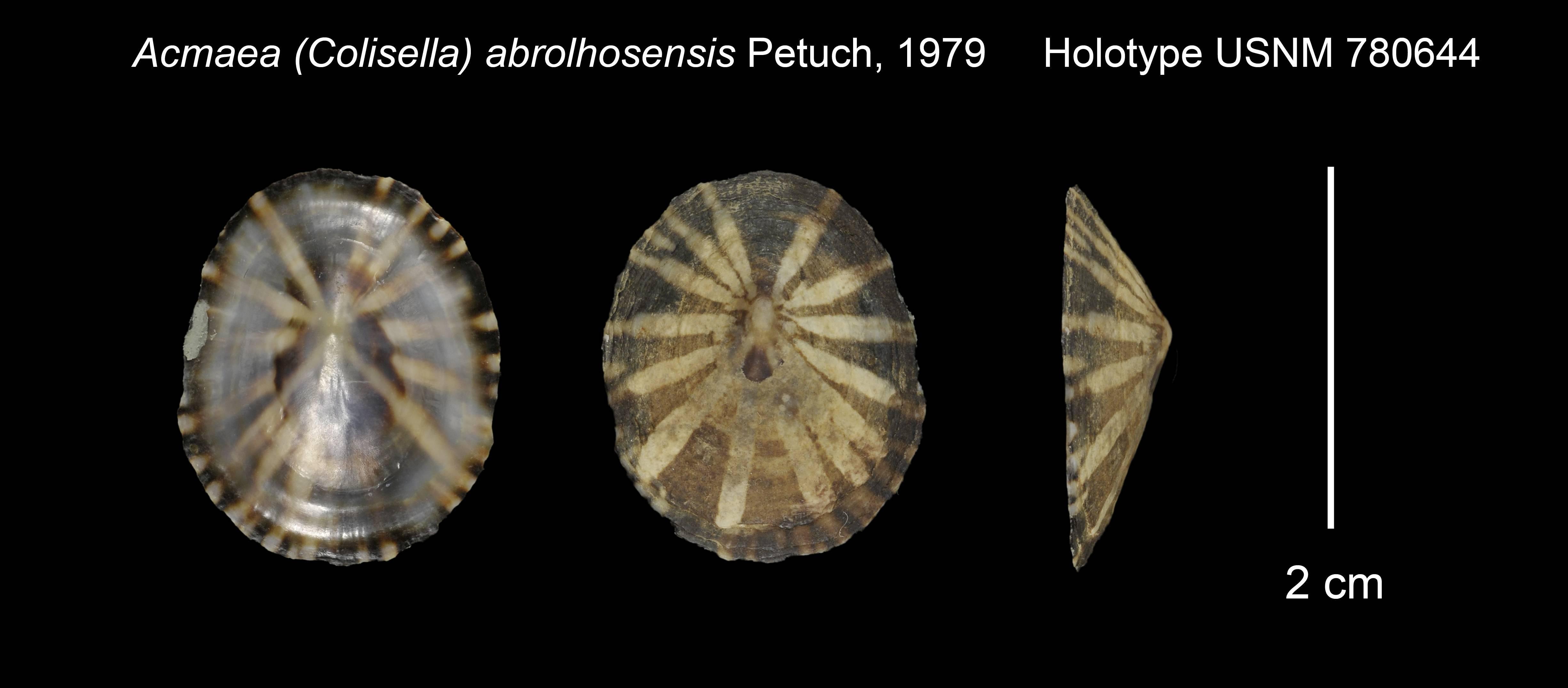 Image of <i>Acmaea</i> (<i>Colisella</i>) <i>abrolhosensis</i> Petuch 1979
