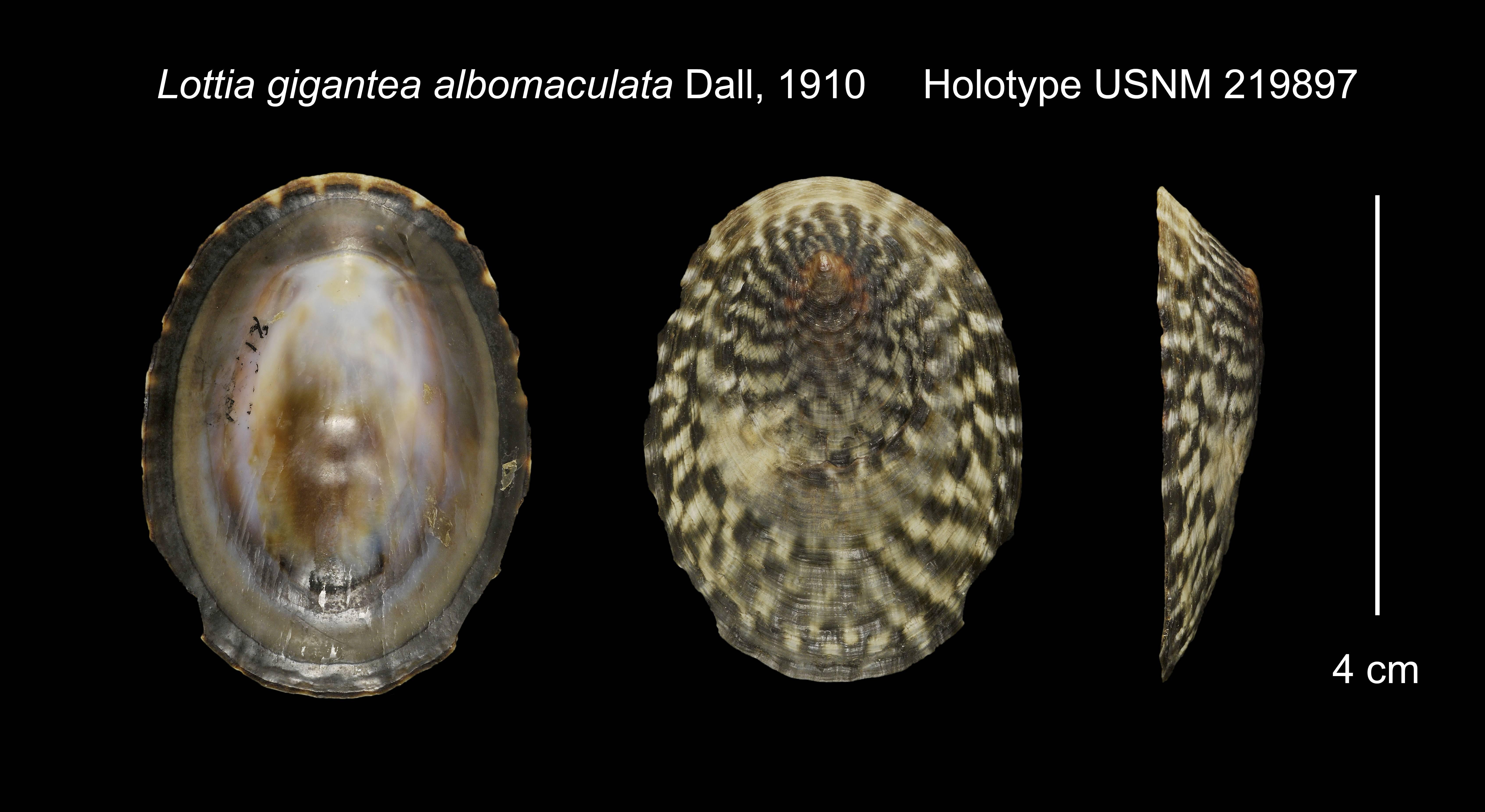 Image of <i>Lottia gigantea</i> ssp. <i>albomaculata</i> Dall