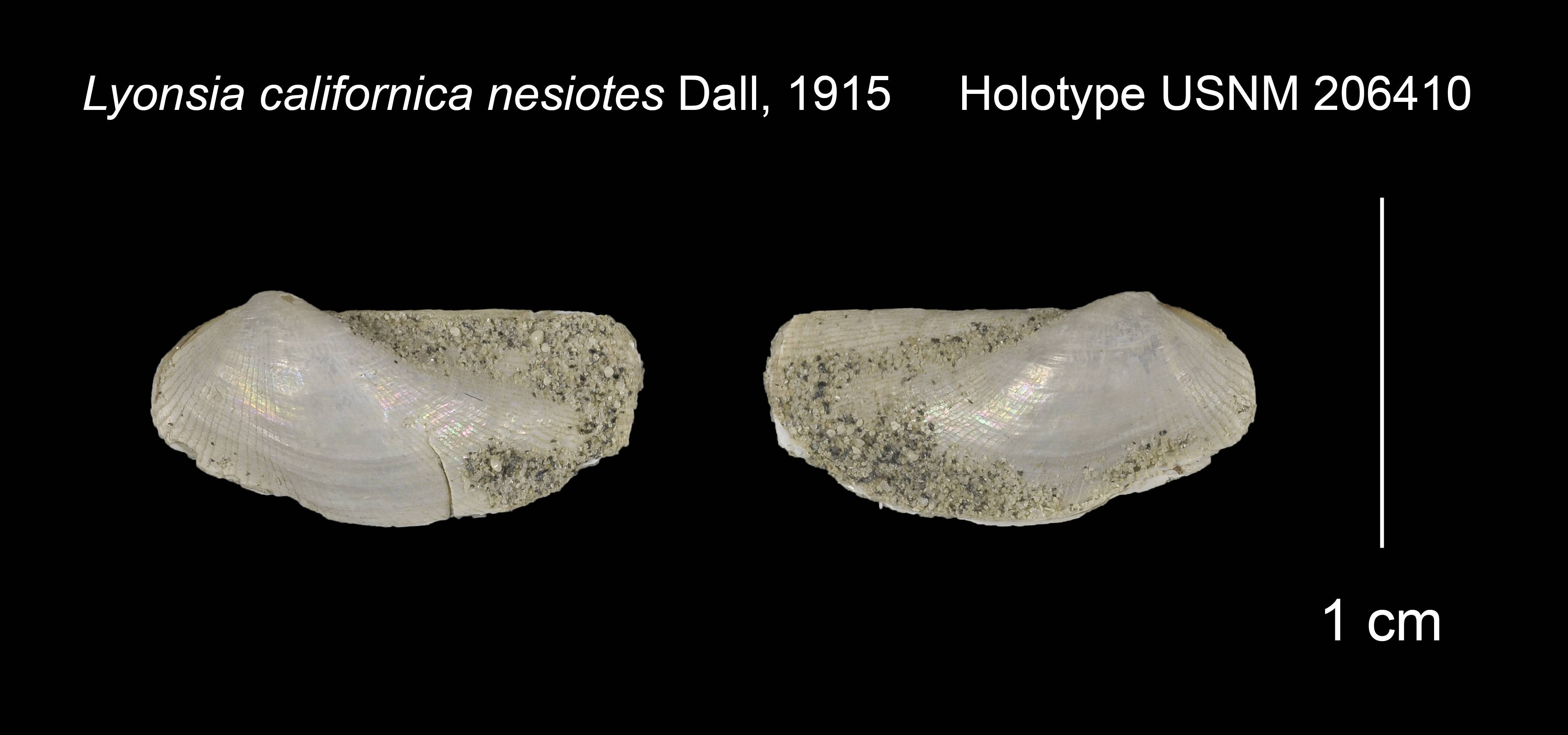 Image of <i>Lyonsia californica nesiotes</i> Dall 1915
