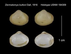 Image of <i>Dermatomya buttoni</i> Dall 1916