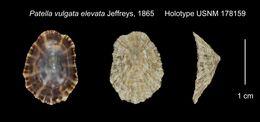 Image of <i>Patella vulgata</i> ssp. <i>elevata</i> Jeffreys