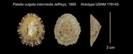 Image of <i>Patella vulgata</i> ssp. <i>intermedia</i> Jeffreys