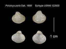 Image of <i>Poromya perla</i> Dall 1908