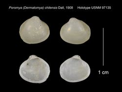 Image of <i>Dermatomya chilensis</i> (Dall 1908)