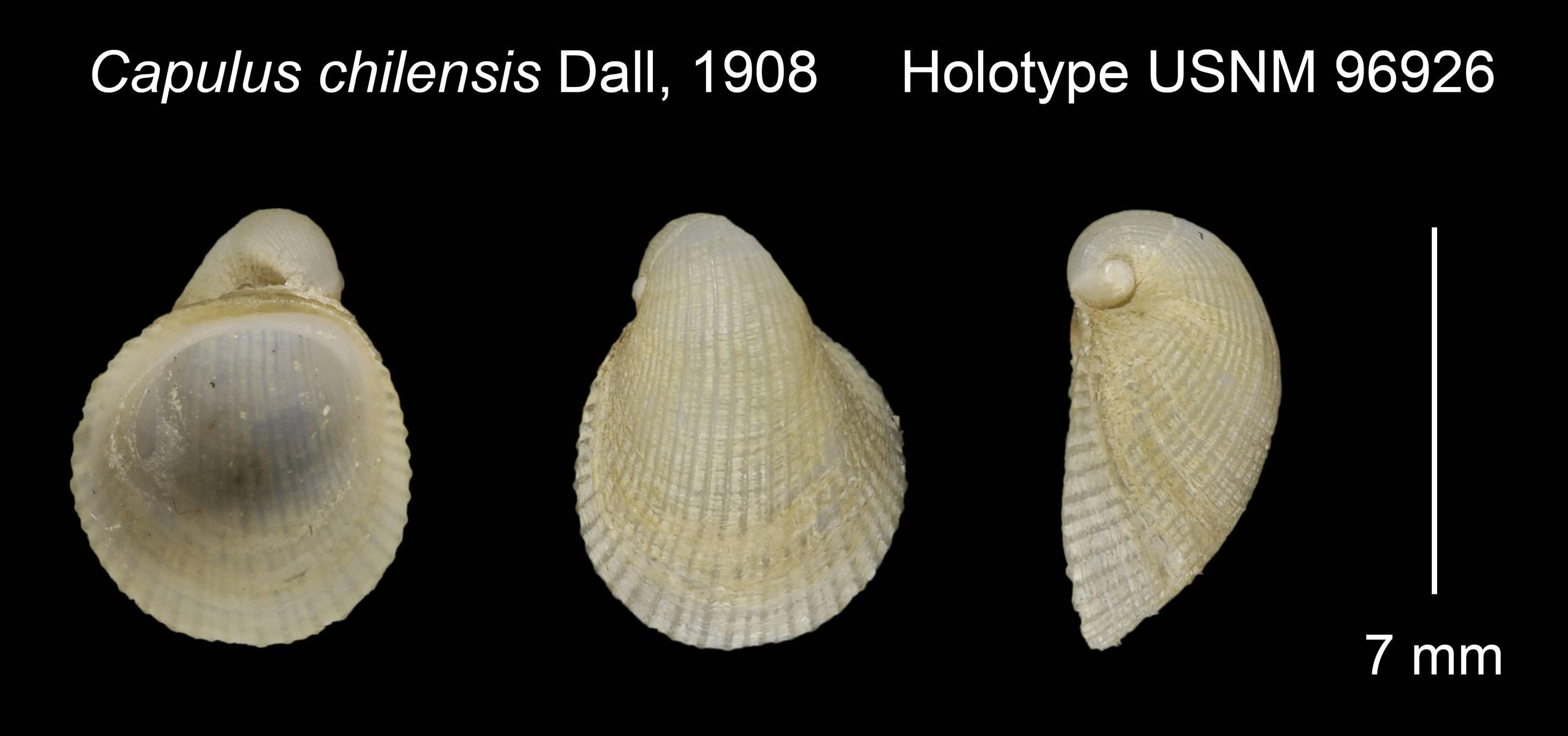 Image of <i>Capulus ungaricoides</i> (d'Orbigny 1841)