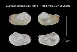 Image of <i>Entodesma solemyalis</i> (Lamarck 1818)