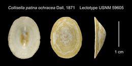 Image of <i>Collisella patina ochracea</i> Dall 1871