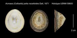 Image of <i>Acmaea</i> (<i>Collisella</i>) <i>pelta nacelloides</i> Dall 1871