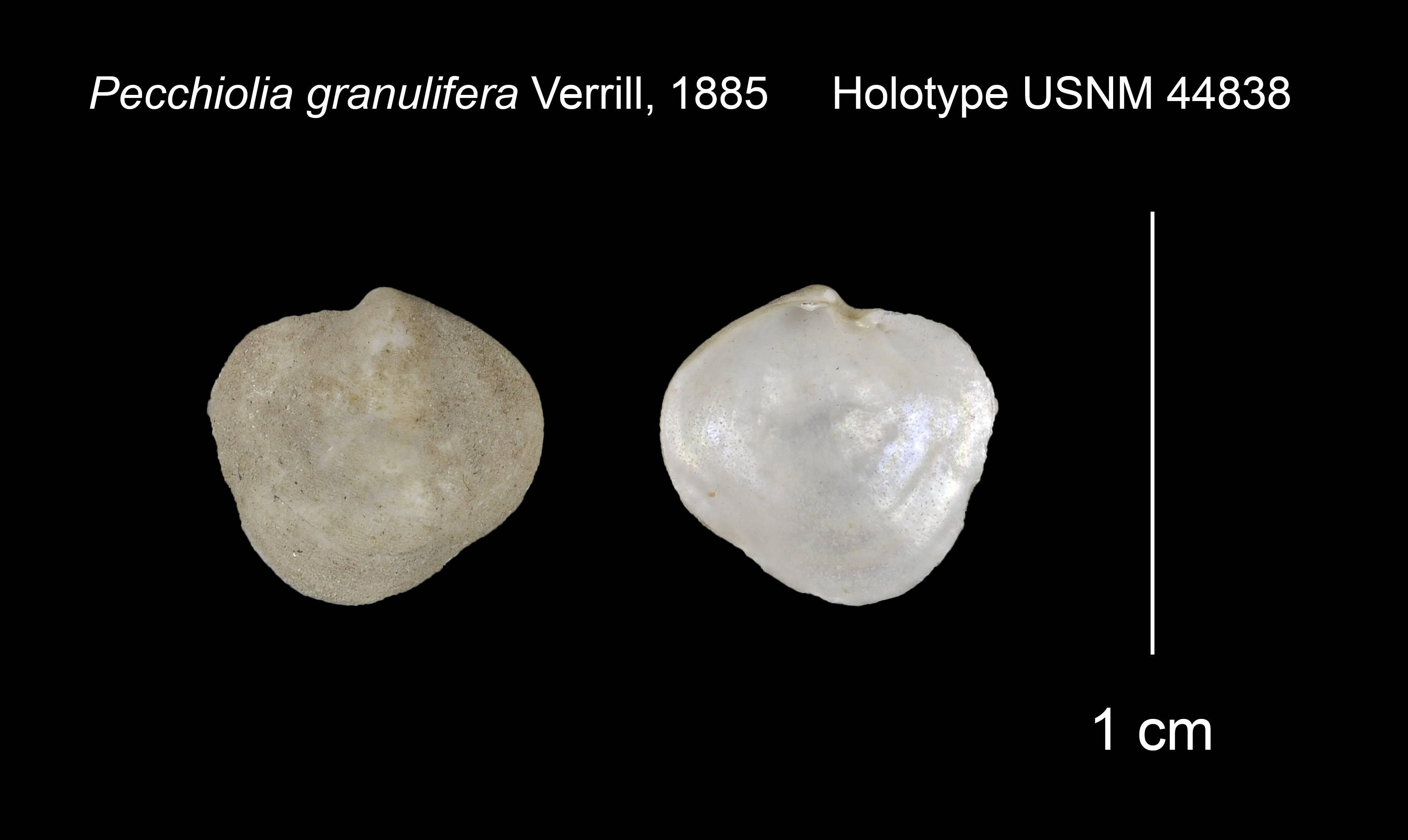 Image of <i>Pecchiolia granulifera</i> Verrill 1885