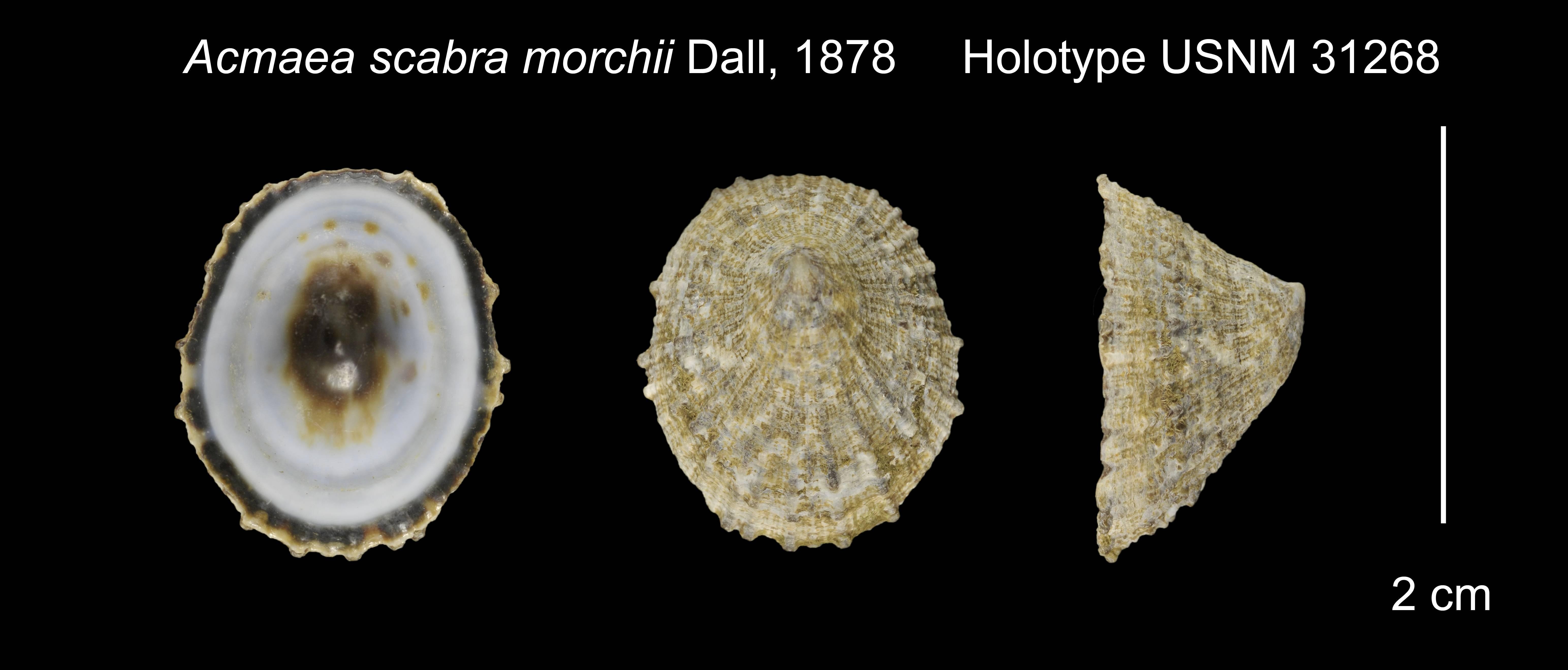 Image of <i>Acmaea scabra morchii</i> Dall 1878