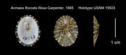Image of <i>Acmaea floccata</i> ssp. <i>filosa</i> Carpenter