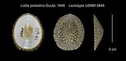 Image of <i>Lottia pintadina</i> Gould
