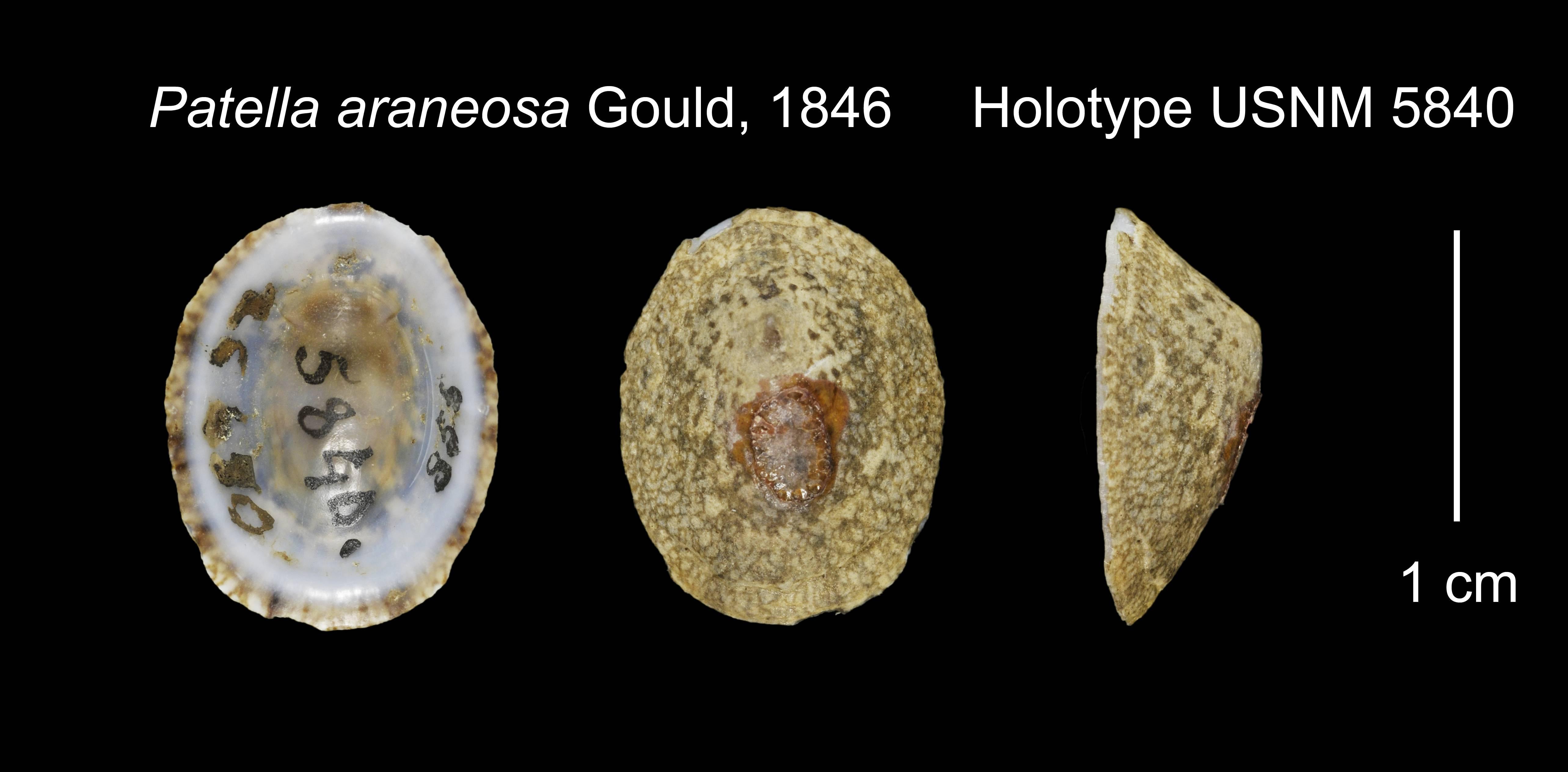 Image of <i>Patella araneosa</i> Gould