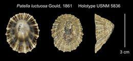 Image of <i>Patella luctuosa</i> Gould