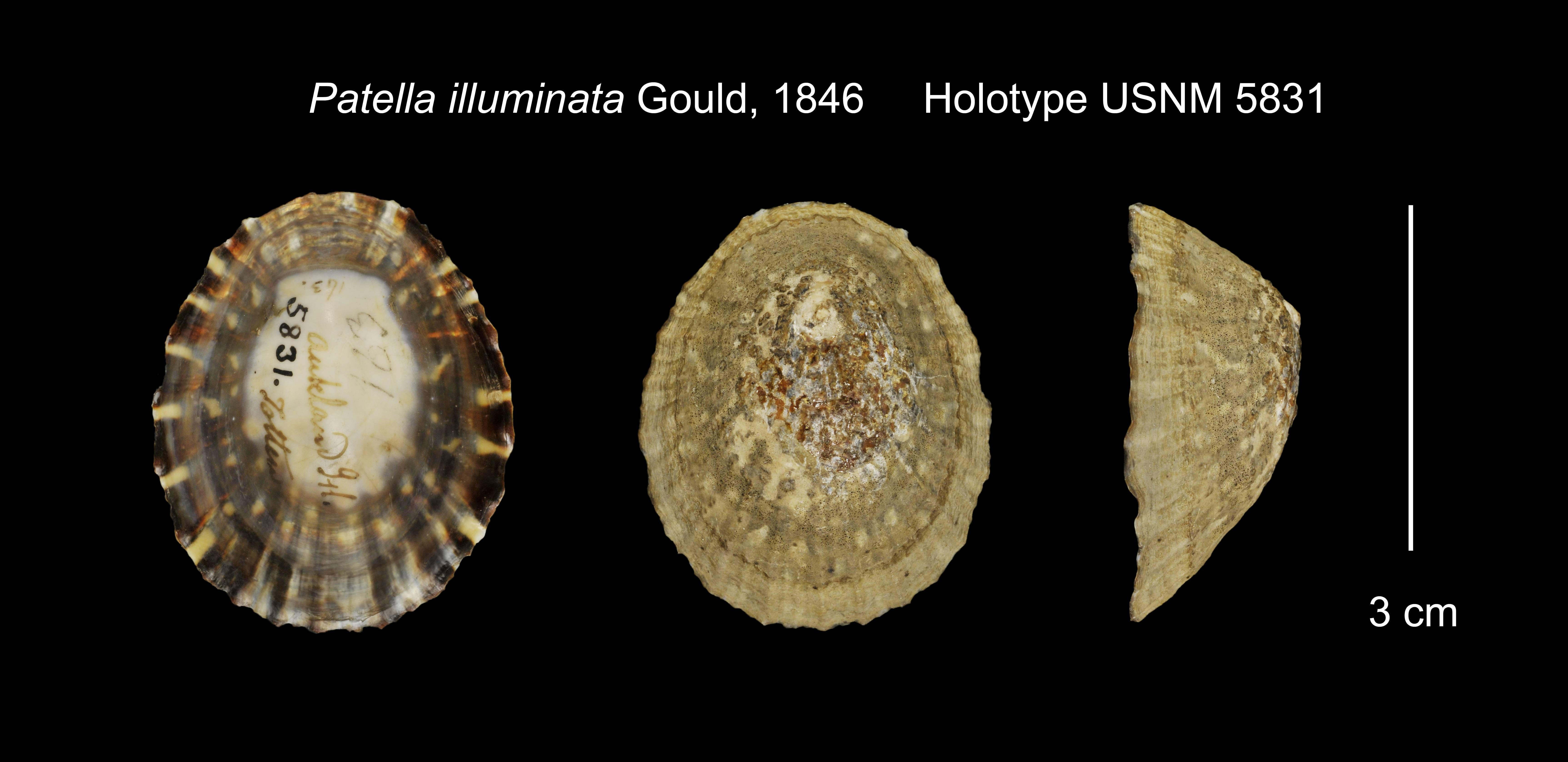 Image of <i>Cellana strigilis</i> (Hombron & Jacquinot 1841)