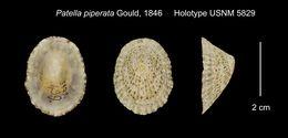 Image of <i>Patella piperata</i> Gould 1846