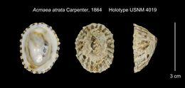 Image of <i>Acmaea atrata</i> Carpenter