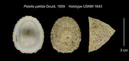 Image of <i>Niveotectura pallida</i> (Gould 1859)