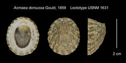 Image of <i>Lottia dorsuosa</i> (Gould 1859)