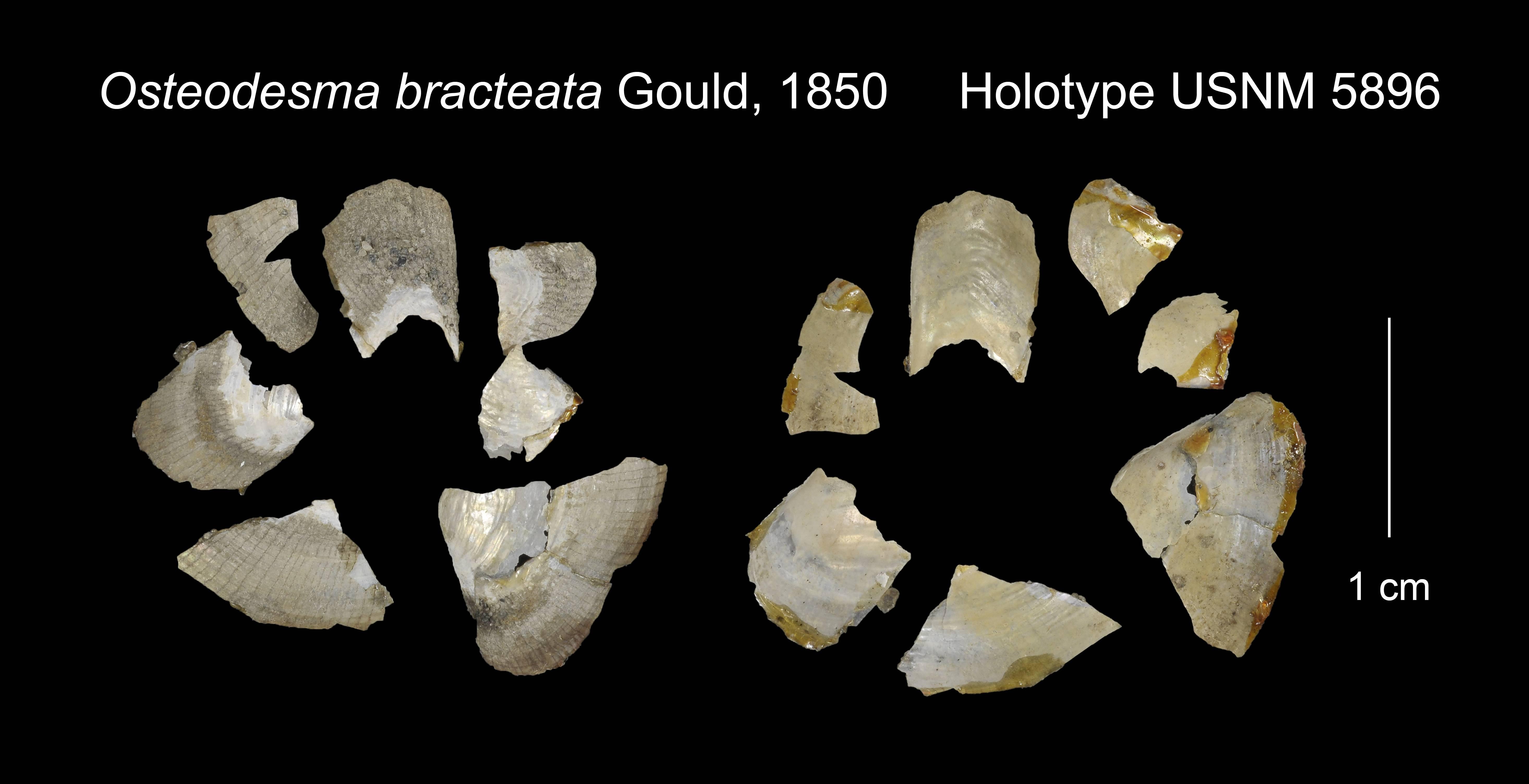 Image of scaly lyonsia