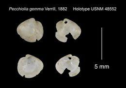 Image of <i>Pecchiolia gemma</i> Verrill