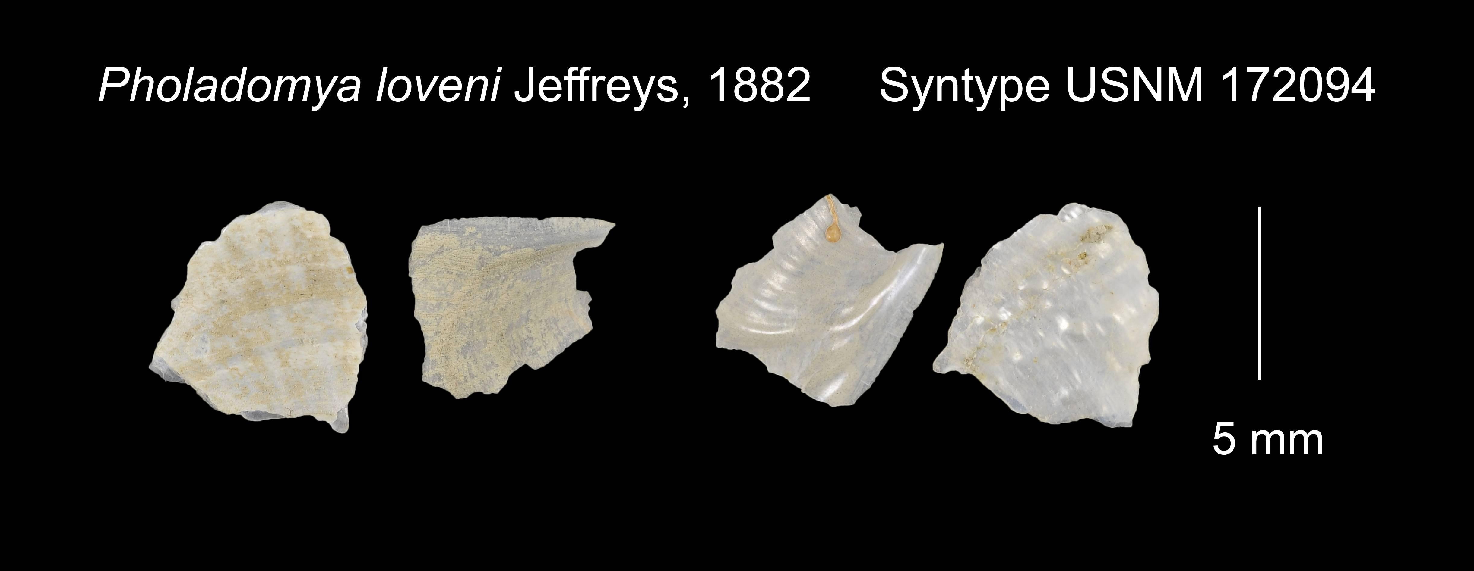 Image of <i>Pholadomya loveni</i> Jeffreys 1882