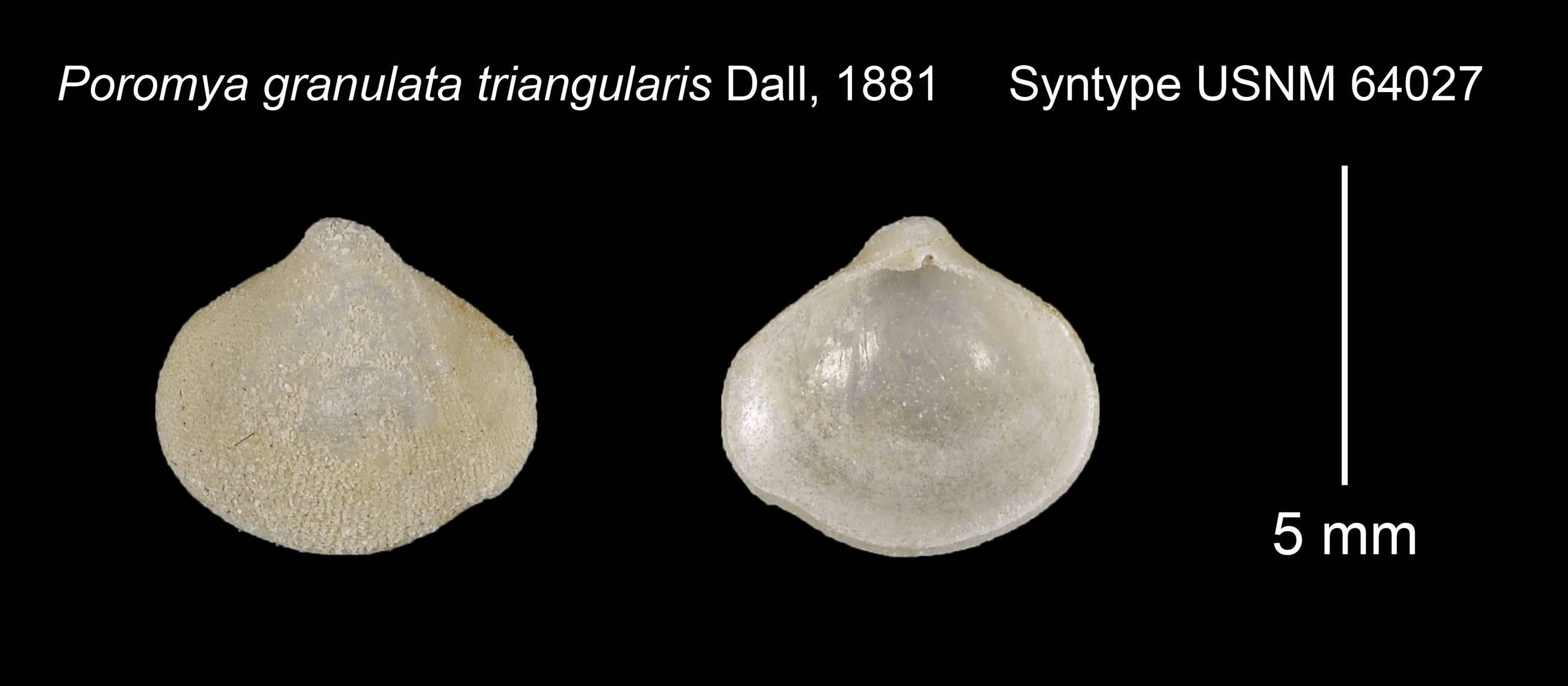 Image of <i>Poromya granulata</i> ssp. <i>triangularis</i> Dall