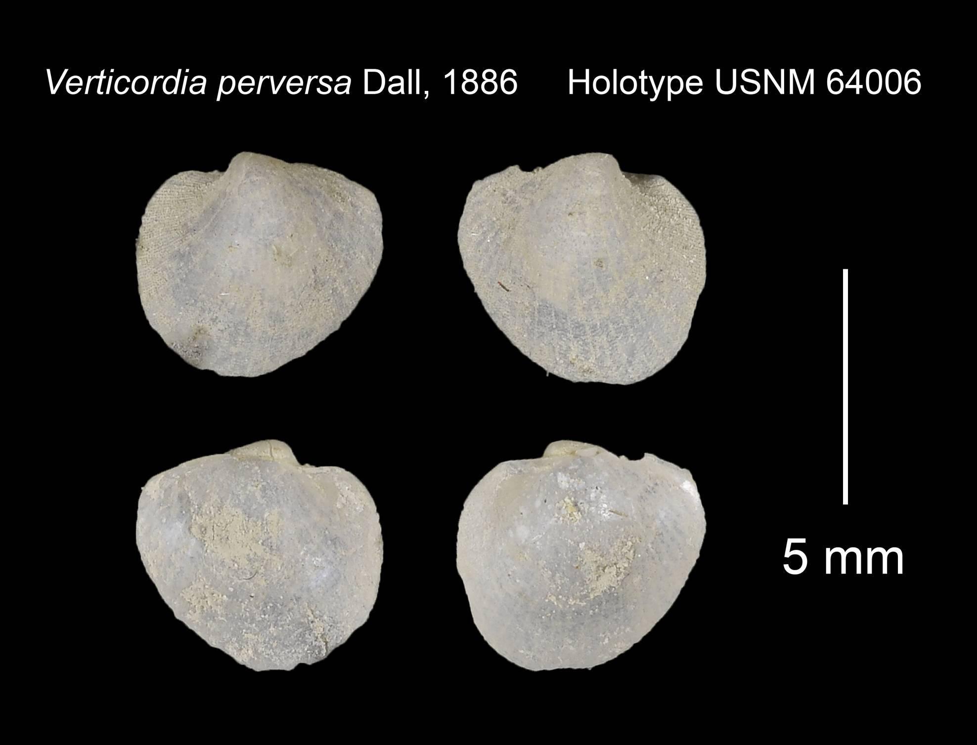 Image of <i>Verticordia perversa</i> Dall 1886