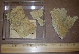 Image of Elkhorn Coral