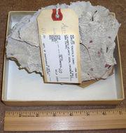 Image of <i>Undaria tenuifolia</i> (Dana 1848)