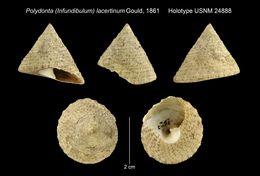 Image of <i>Polydonta lacertinum</i> Gould